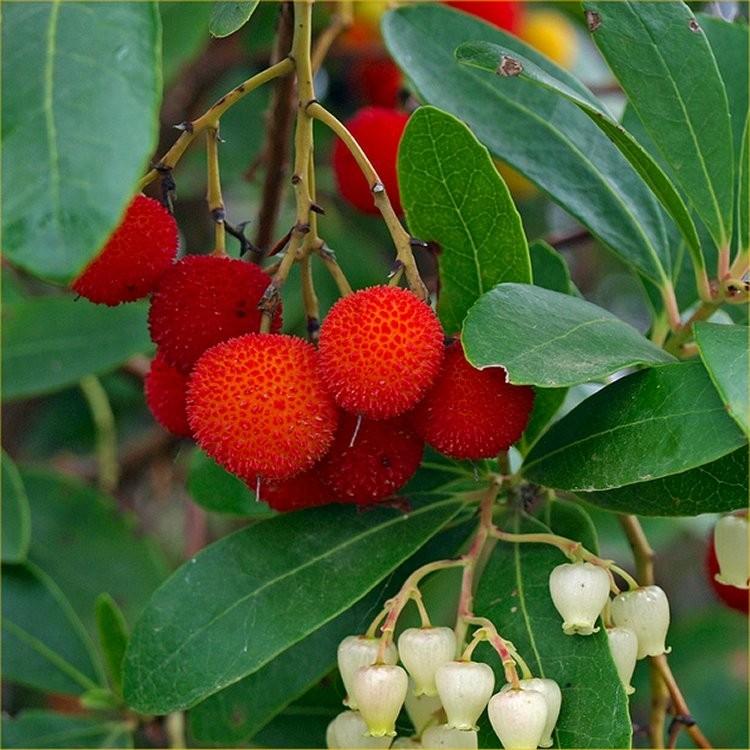 Drzewo truskawkowe COMPACTA - AROMATYCZNE OWOCE - Arbutus unedo