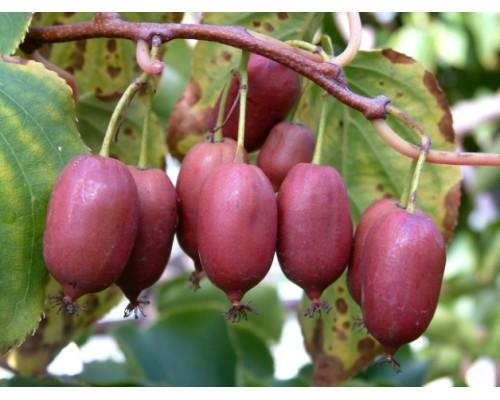 Aktinidia purpurowa Hardy Red - MINI KIWI, CZERWONE OWOCE!!! - Actinidia purpurea Hardy Red -  ŻEŃSKA