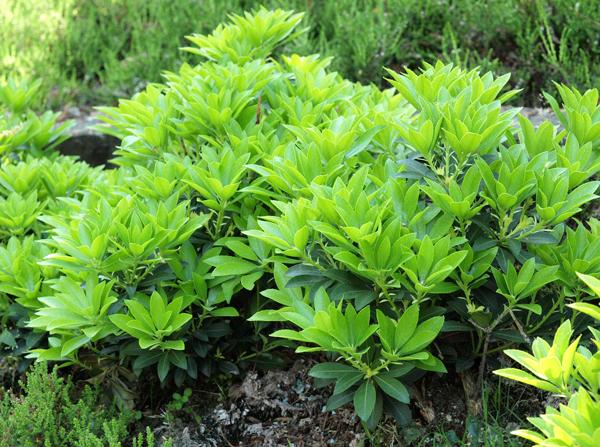 Pieris japoński Fuga - KARŁOWY - Pieris japonica Fuga