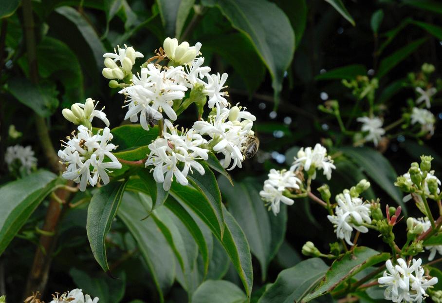 Heptakodium chińskie TIANSHAN - NOWOŚĆ, KOMPAKTOWY I ZWARTY POKRÓJ - Heptacodium miconioides TIANSHAN