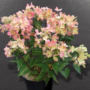 Hortensja bukietowa PASTELGREEN - ZMIENNA JAK KAMELEON - Hydrangea paniculata PASTELGREEN Renxolor