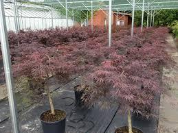 Klon palmowy Dissectum Garnet - NA WYSOKIM PNIU!!! - Acer palmatum Dissectum Garnet