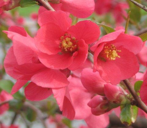 Pigwowiec pośredni Pink Lady - DEKORACYJNY I SMACZNY - Chaenomeles ×superba Pink Lady