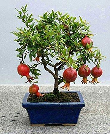 Granatowiec właściwy Nana - Granat - PYSZNE OWOCE - Punica granatum Nana