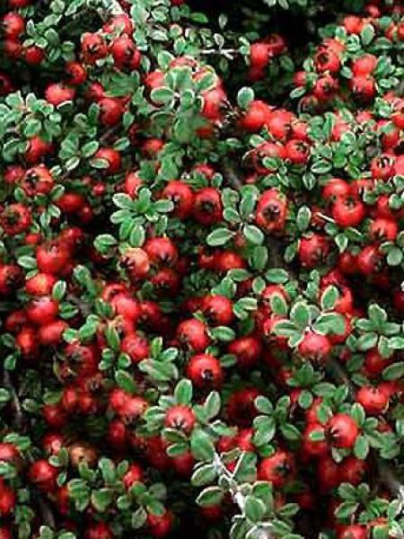 irga płożąca Streibs Findling - ZIELONY DYWAN!!! - Cotoneaster procumbens Streibs Findling