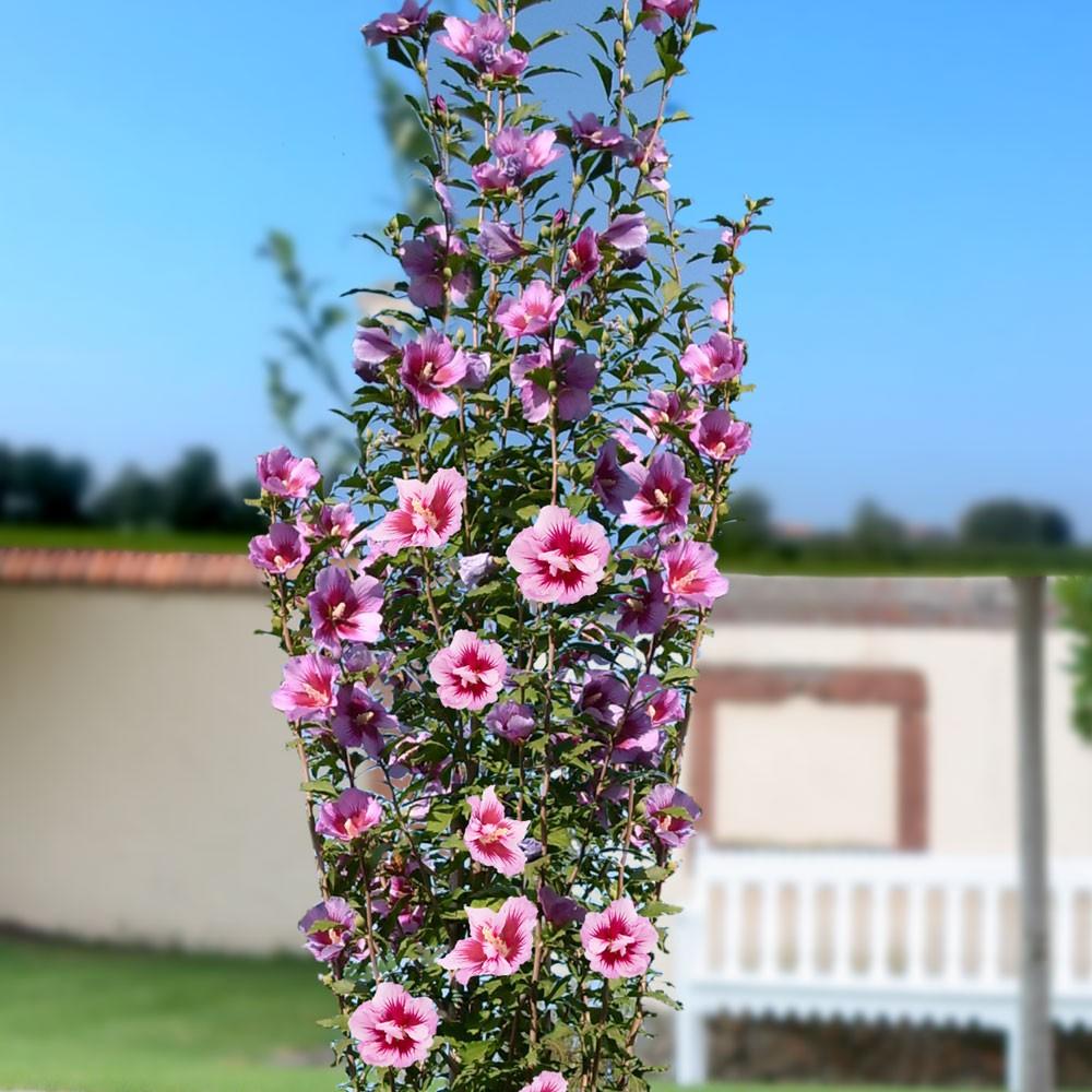 Ketmia, Hibiskus syryjski PURPLE PILLAR - KOLUMNOWY POKRÓJ, SREBRNY MEDALSITA!!! - Hibiscus syriacus Purple Pillar