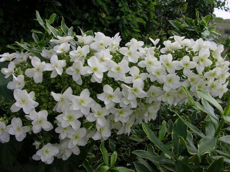 Hortensja dębolistna - NOWOŚĆ, PODWÓJNE, GWIAZDKOWATE KWIATOSTANY - Hydrangea quercifolia Snow Giant