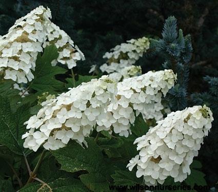 Hortensja dębolistna SNOW QUEEN  - WSPANIAŁY AKCENT KOLORYSTYCZNY - Hydrangea quercifolia SNOW QUEEN