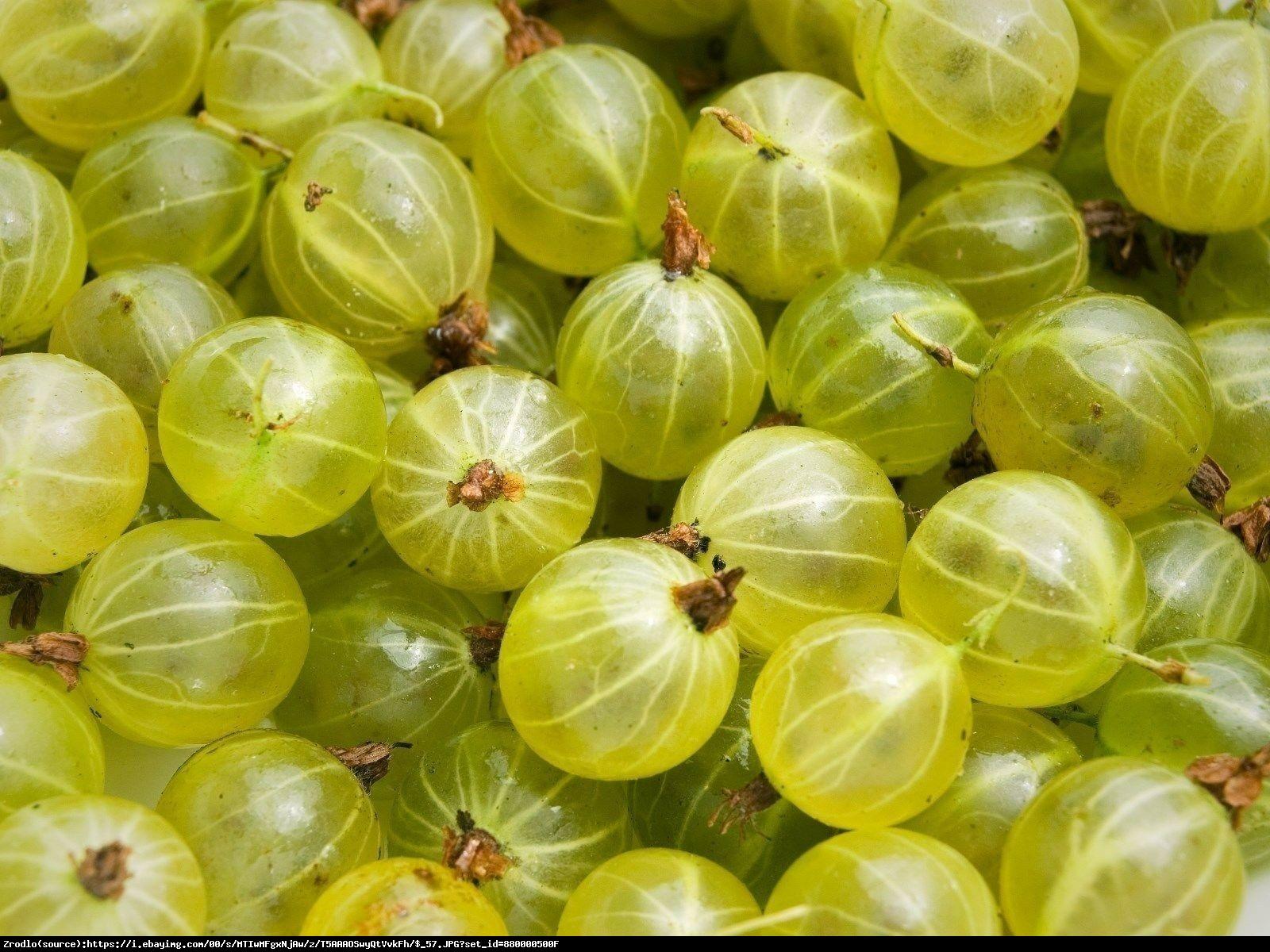 Agrest krzaczasty Invicta - WYSOKA ODPORNOŚĆ NA MRÓZ I CHOROBY!!! - Ribes uva-crispa Invicta