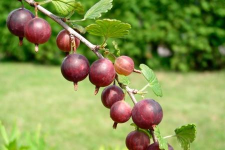 Agrest Captivator KRZEW - BEZKOLCOWY I SMACZNY - Ribes uva-crispa Captivator