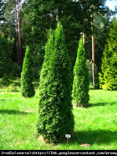 Żywotnik zachodni Tuja Smaragd P9 - Thuja occidentalis Smaragd