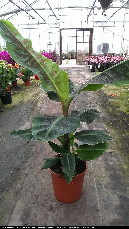Bananowiec karłowaty Owoce po roku! 60-80 cm - Musa Dwarf Cavendish