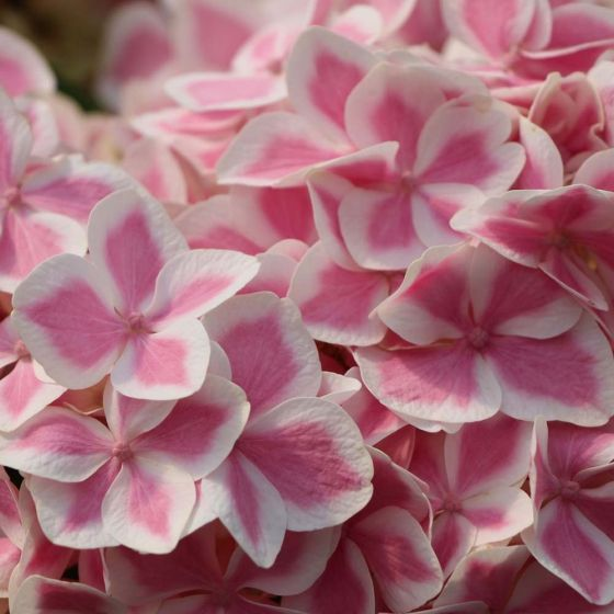 Hortensja ogrodowa PEPPERMINT -  NIE STRASZNA JEJ ZIMA - Hydrangea macrophylla PEPPERMINT