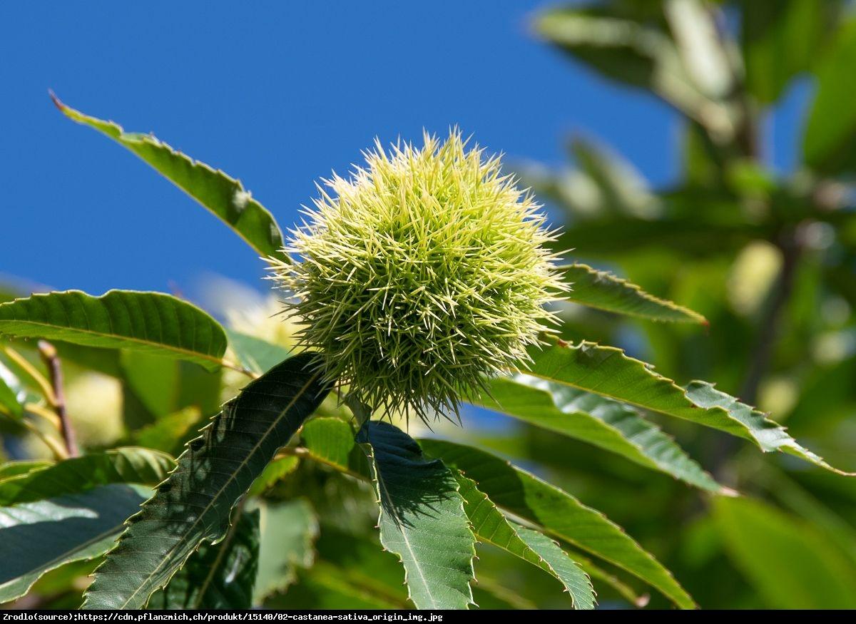 Kasztan jadalny STEINMOOR - super słodkie owoce - Castanea sativa STEINMOOR