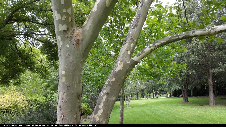 Platan klonolistny - Platanus acerifolia
