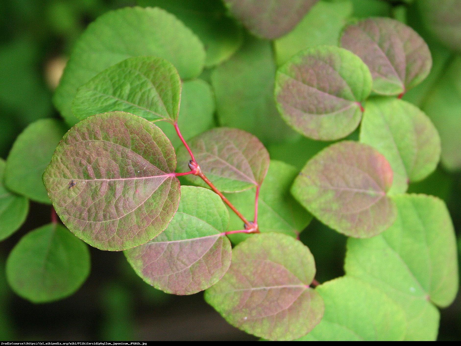 Grujecznik japoński - Cercidophylum japonicum