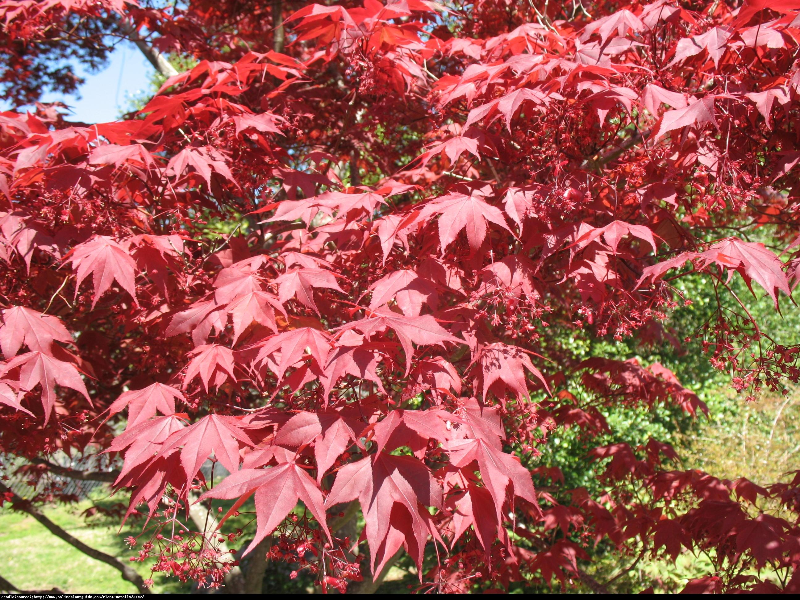 Klon palmowy Bloodgood - Acer pal.  Bloodgood