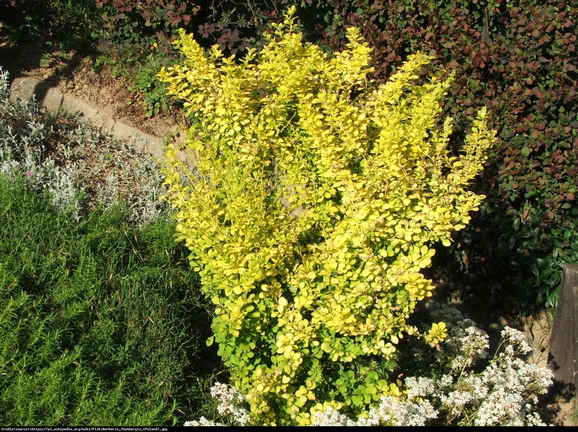 Berberys Aurea - Berberis thunb. Aurea