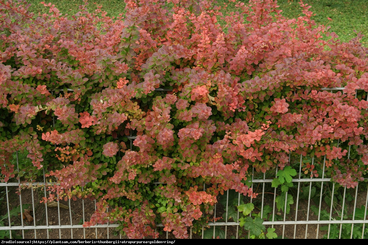 Berberys Golden Ring - Berberis thunb. Golden Ring