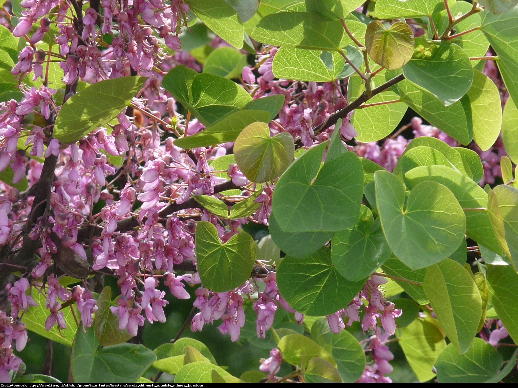 Judaszowiec chiński Avondale - Cercis chinensis  Avondale