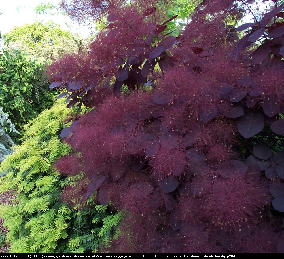 Perukowiec podolski  Royal Purple  - Cotinus cog.  Royal Purple