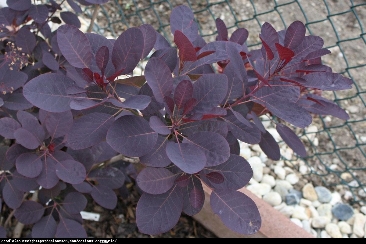 Perukowiec podolski  Royal Purple  - Cotinus cog.  Royal Purple
