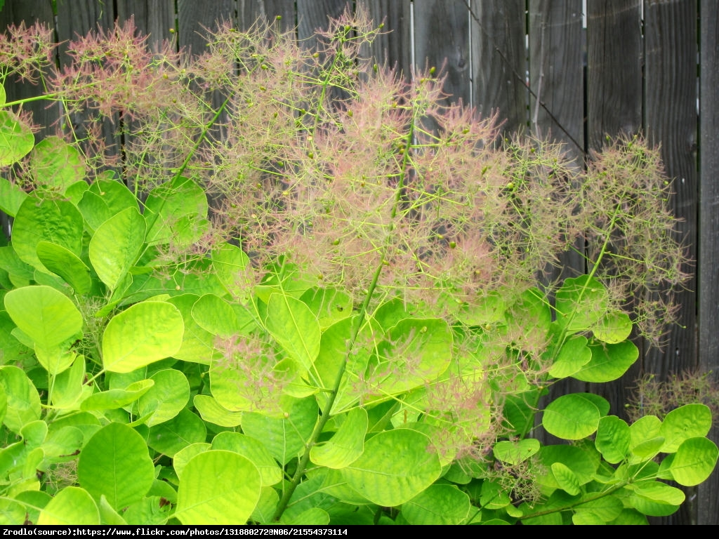 Perukowiec Golden Spirit - Cotinus coggygria  Golden Spirit