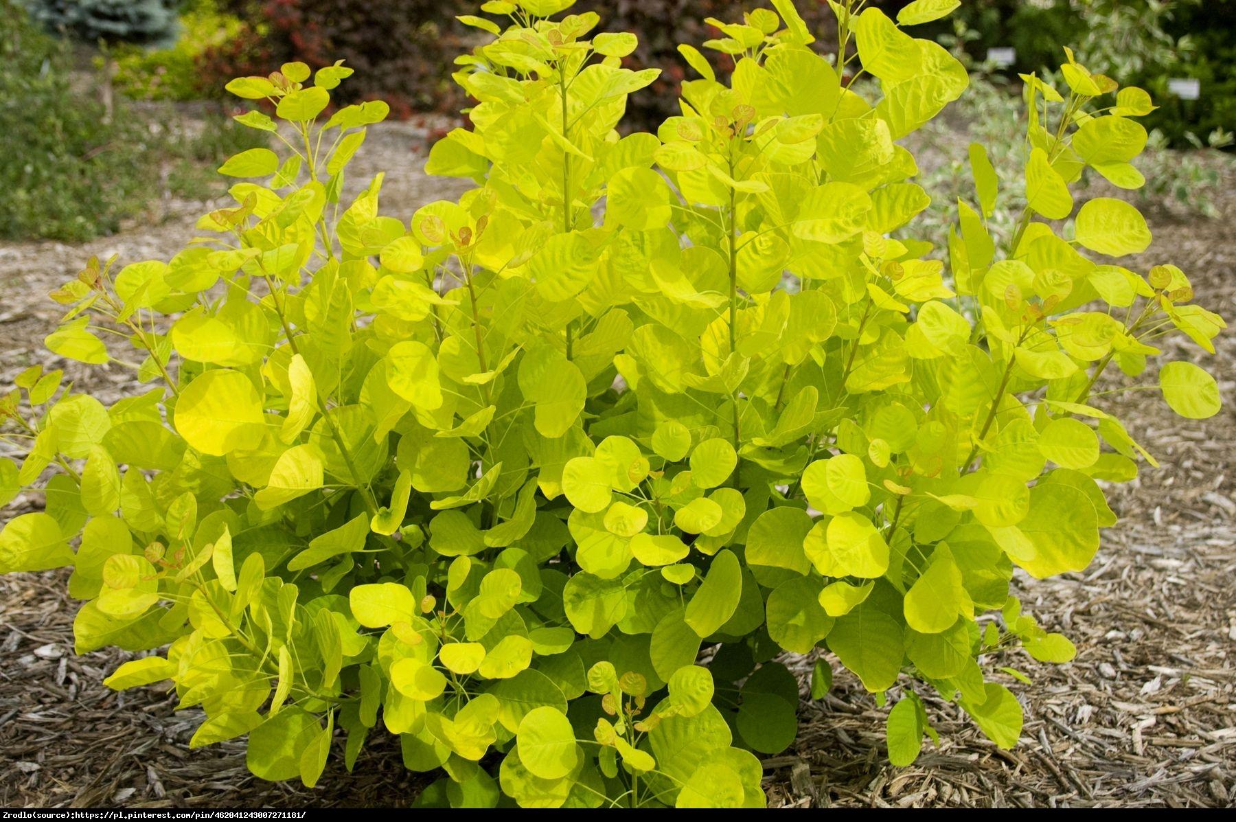 Perukowiec Golden Spirit - Cotinus coggygria  Golden Spirit