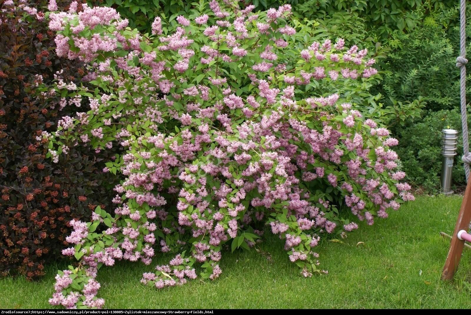 Żylistek mieszańcowy Strawberry Fields - Deutzia hybrida Strawberry Fields