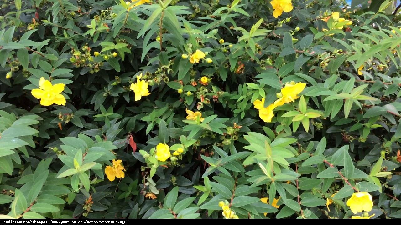 Dziurawiec Hidcote  - Hypericum  Hidcote
