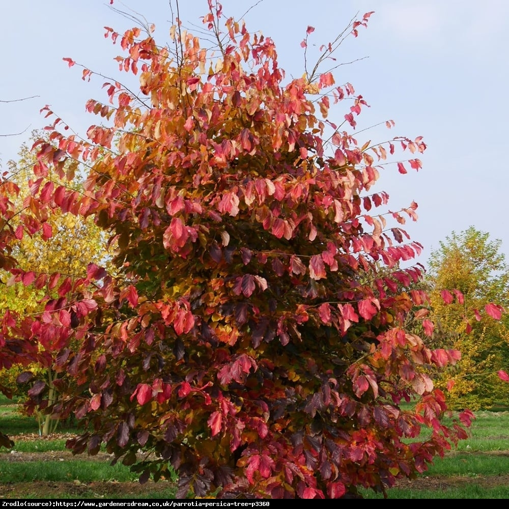 Parrocja perska - Parrotia persica