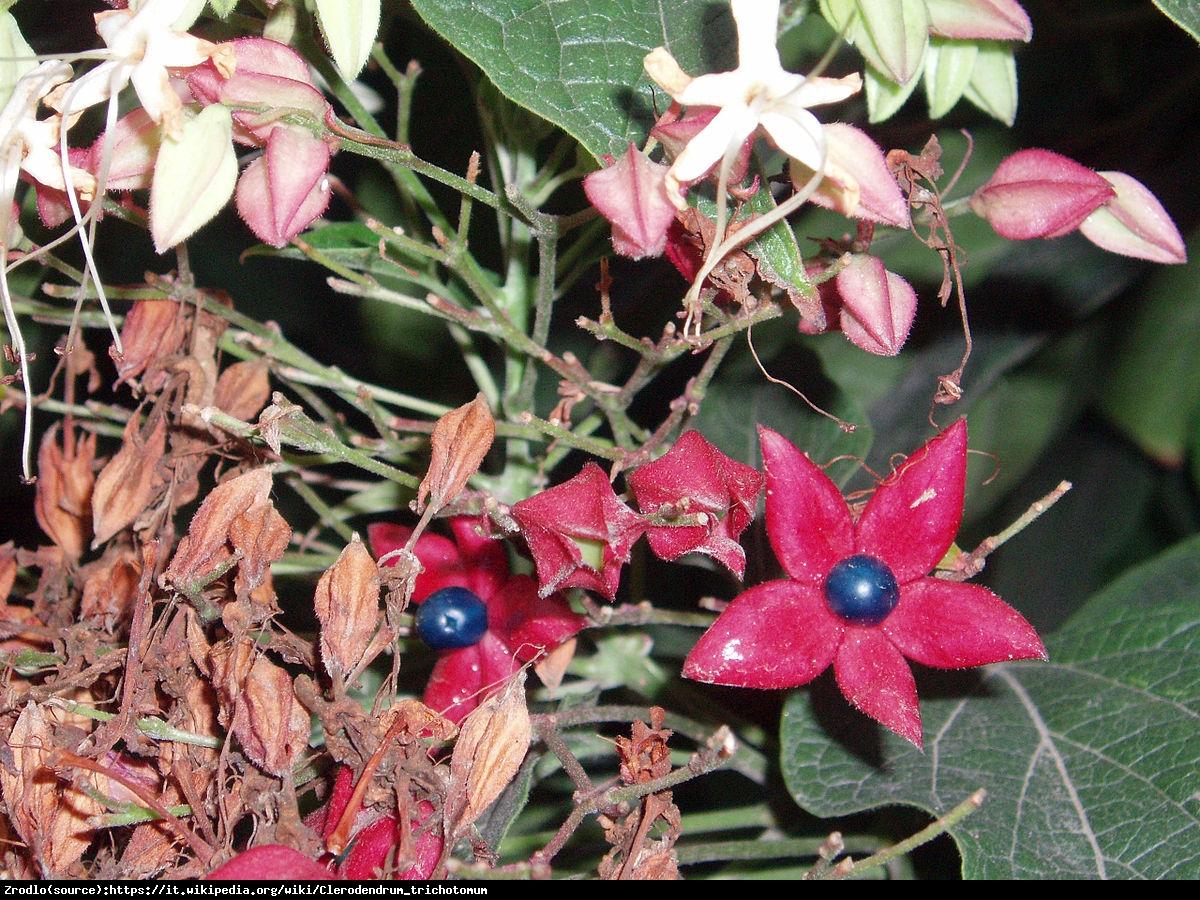 Szczęślin późny  - Clerodendrum trichotomum