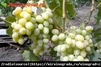 Winorośl Zlato - PRAWDZIWE ZŁOTO w TWOJEJ WINNICY - Vitis Zlato