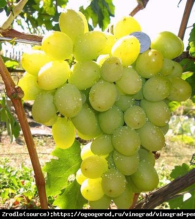 Winorośl Pierwozwannyj - Duże grona subtelny aromat - Vitis Pierwozwannyj