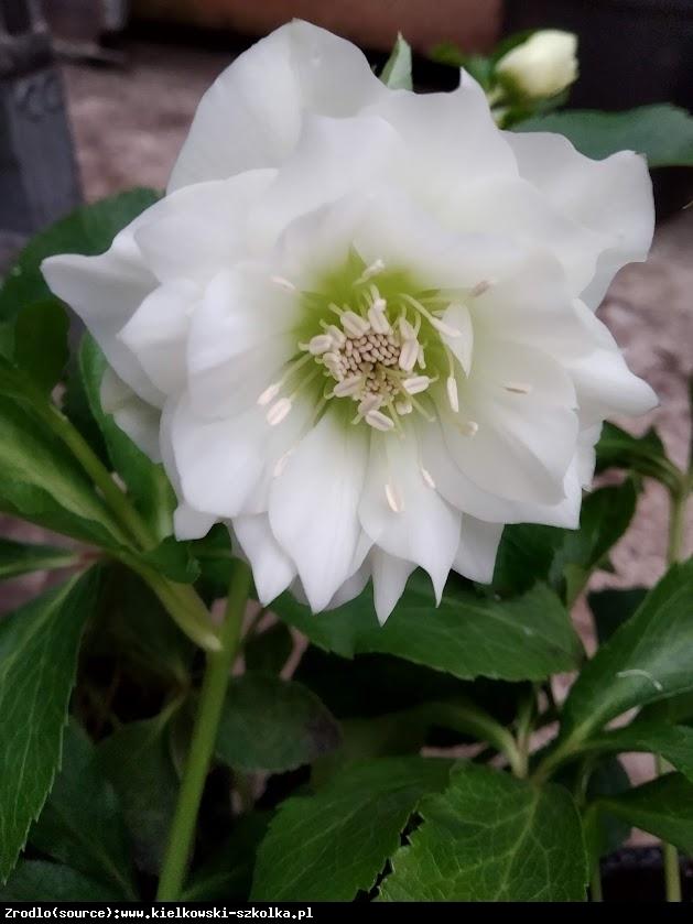 Ciemiernik wschodni Queens Double White RARYTAS - Helleborus orientalis Queens Double White