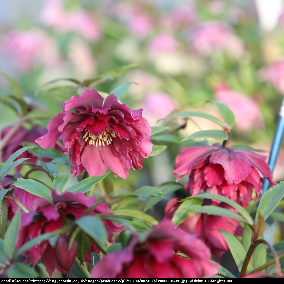 Ciemiernik wschodni Queens Double Red RARYTAS - Helleborus orientalis Queens Double Red