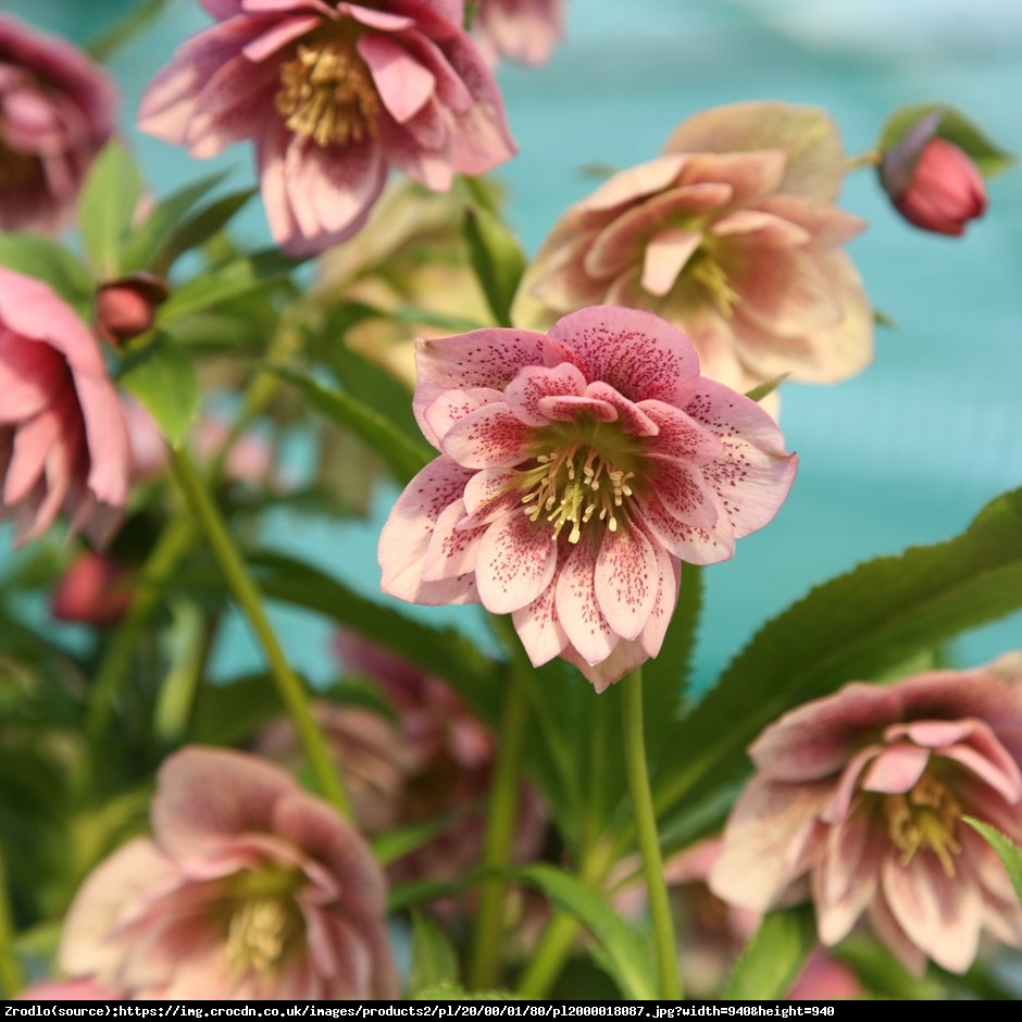 Ciemiernik Queens Double Pink RARYTAS - Helleborus orientalis Queens Double Pink