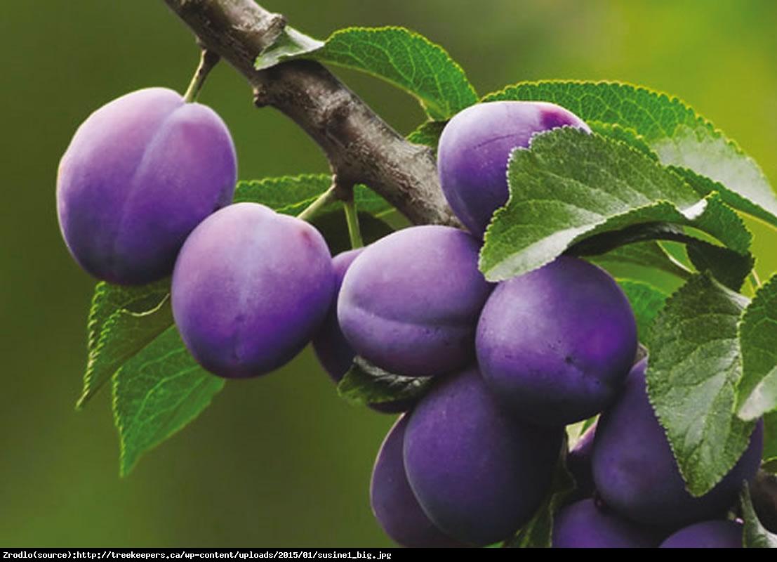 Śliwa węgierka President - Prunus President