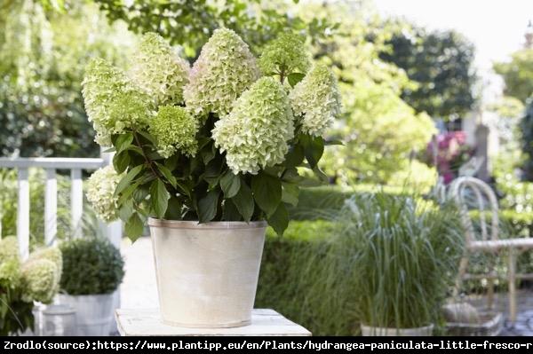 Hortensja bukietowa LITTLE FRAISE - UNIKATOWA PIĘKNOŚĆ - Hydrangea paniculata Little Fraise