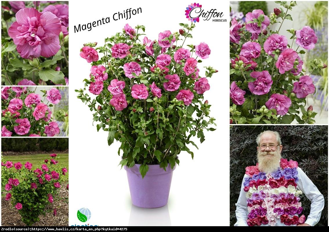 Ketmia Hibiskus syryjski MAGENTA CHIFFON - KARMAZYNOWE RÓŻYCZKI - Hibiscus syriacus Magenta Chiffon
