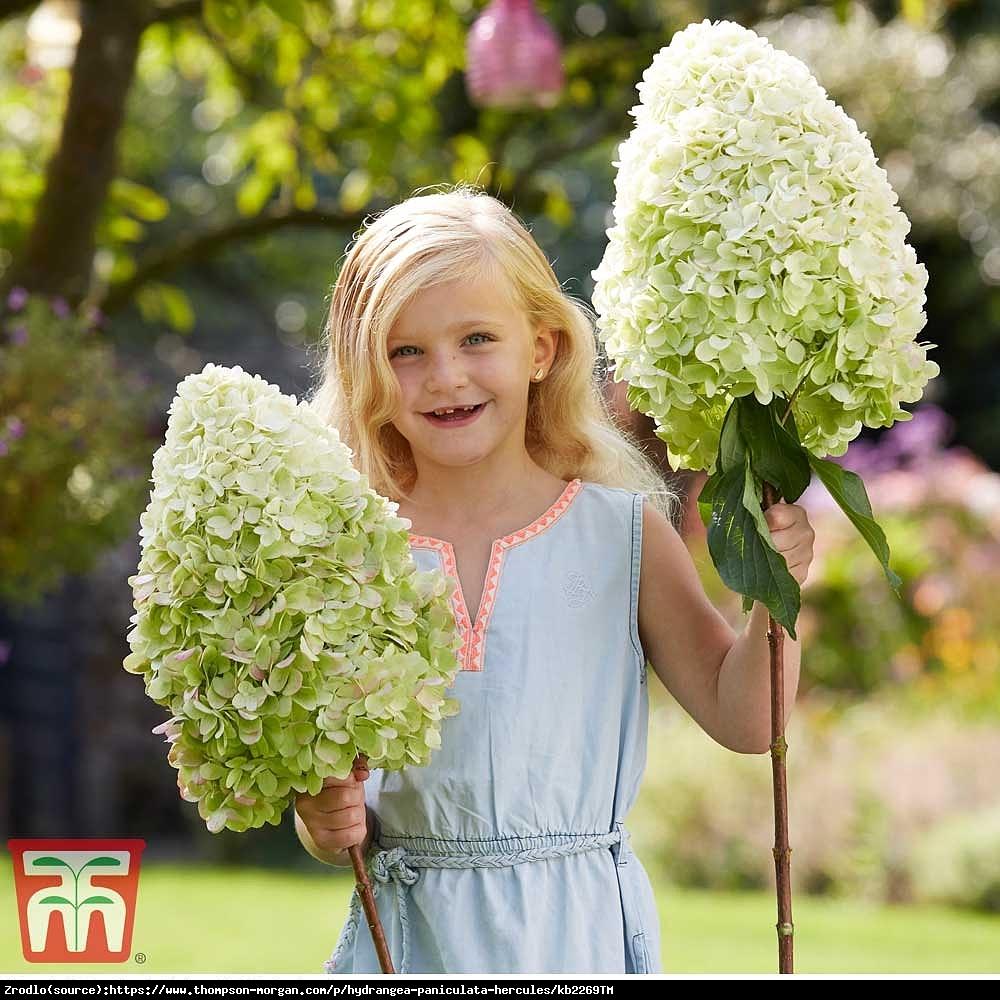 Hortensja bukietowa HERCULES - rarytas, OLIMPIJSKI GIGANT - Hydrangea paniculata Hercules