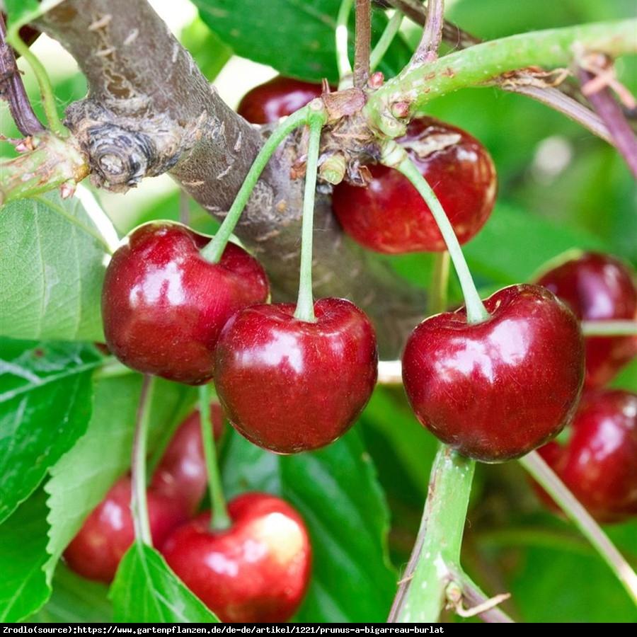 Czereśnia Burlat - Prunus Burlat