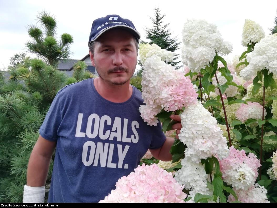 Hortensja bukietowa FRAISE MELBA - prawdziwa KRÓLOWA HORTENSJI - Hydrangea paniculata Fraise Melba