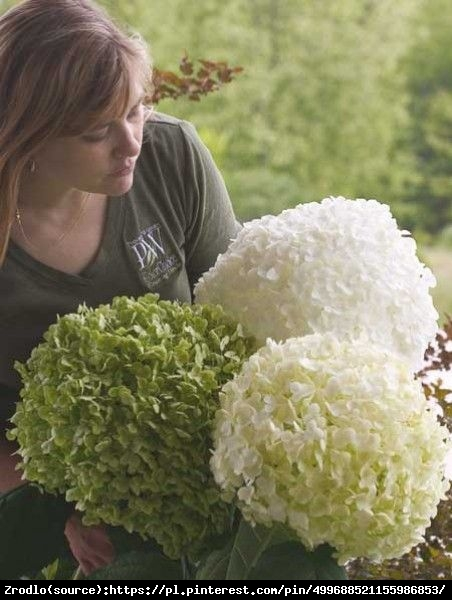 Hortensja drzewiasta STRONG ANNABELLE - unikat, ŚNIEŻNE KULE - Hydrangea arborescens Strong Annabelle