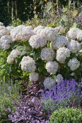 Hortensja drzewiasta CANDYBELLE MARSHMALLOW - ŁOSOSIOWE KWIATY!!! - Hydrangea arborescens Candybelle Marshmallow