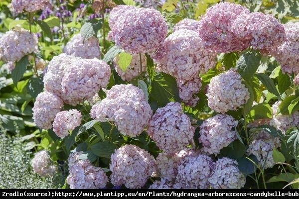 Hortensja drzewiasta CANDYBELLE BUBBLEGUM - różowa PEREŁKA - Hydrangea arborescens Candybelle Bubblegum