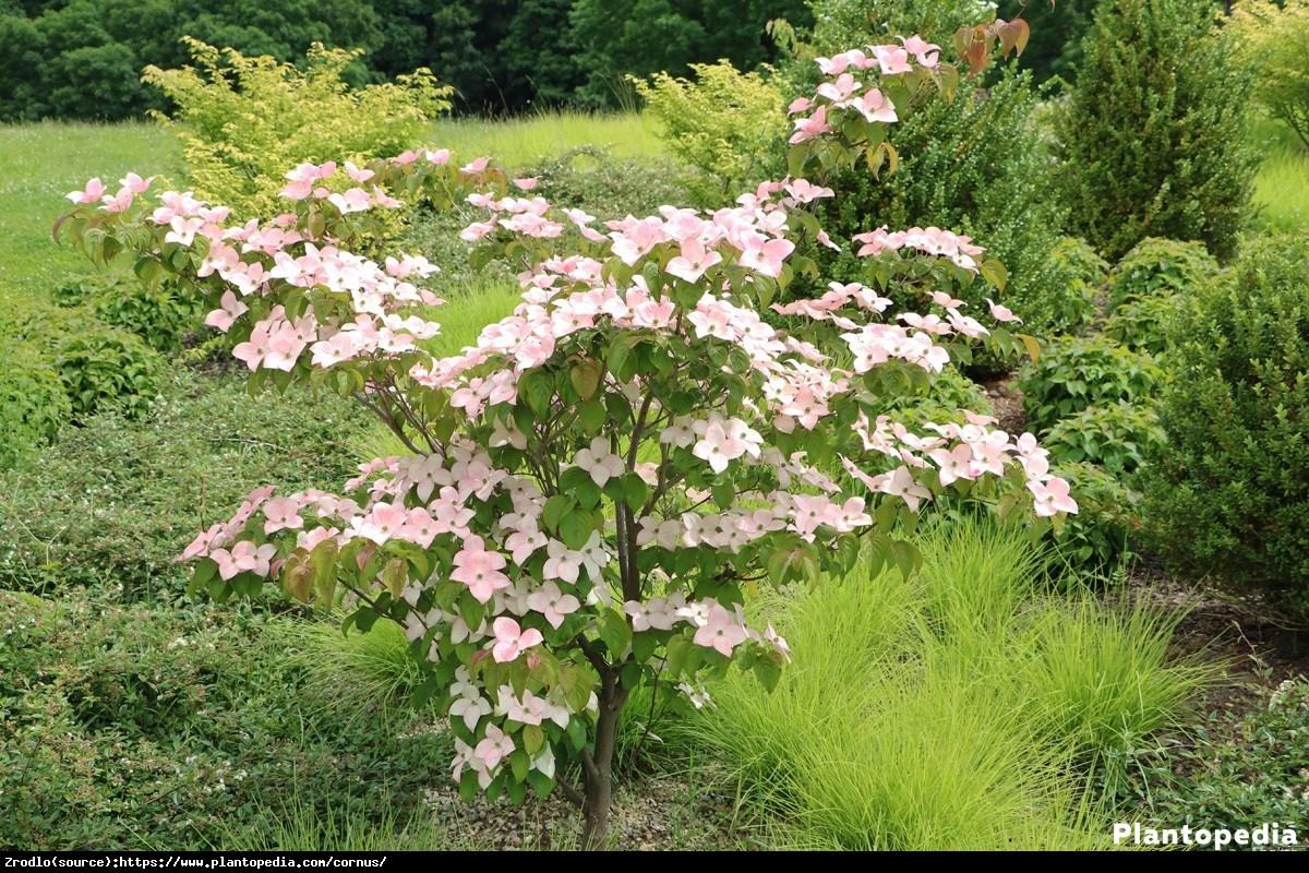 Dereń kousa odmiana chińska  - Cornus kousa var. chinensis