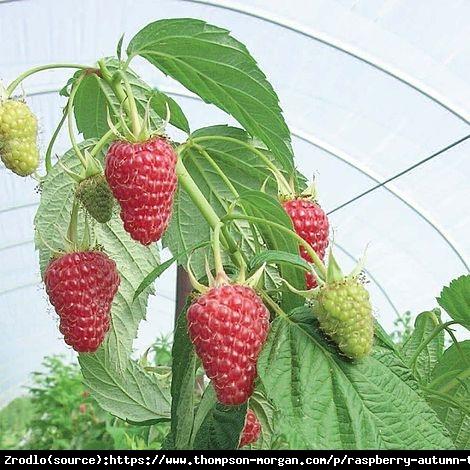 Malina BALKONOWA Autumn Treasure - POWTARZAJĄCA, SUPER SŁODKA - Rubus idaeus Autumn Treasure
