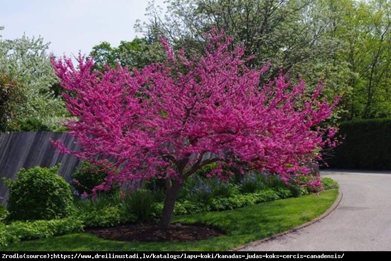 Judaszowiec kanadyjski Pink Pom Poms - UNIKAT, PEŁNE KWIATY !!! - Cercis canadensis Pink Pom Poms