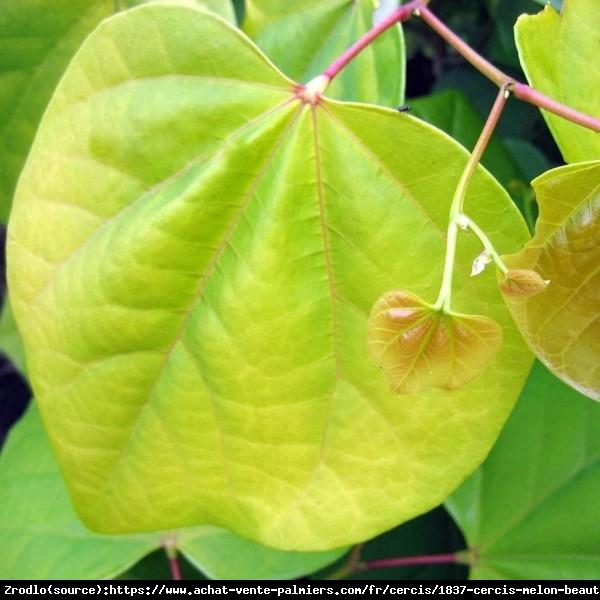 Judaszowiec kanadyjski Melon Beauty - MUŚNIĘTY ZŁOTEM RARYTAS - Cercis canadensis Melon Beauty